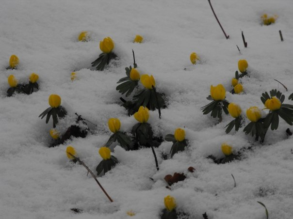 Blooms in the snow