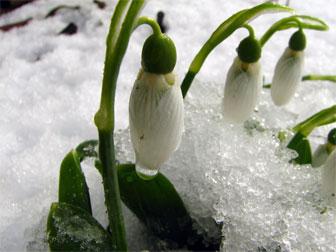 Snowdrps