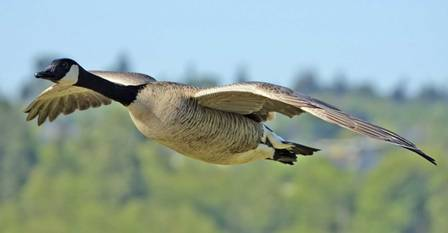 Goose-flying