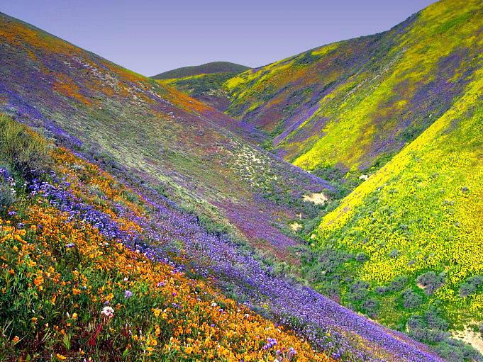 Desert_flowers