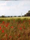 Poppies_4_1