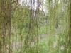 Through_the_willow_1